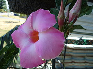 Mandevilla Flower grown in hanging basket. Tro...