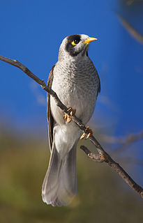 Noisy miner A bird in the honeyeater family from eastern Australia