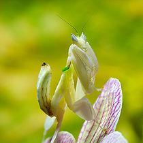 Mantis Hymenopus coronatus 6 Luc Viatour.jpg