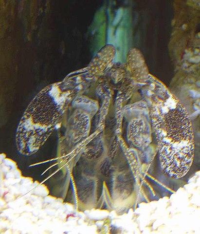 Mantis Shrimp Has the World's Fastest Punch 411px-Mantis_shrimp
