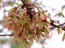 Acer rubrum - Wikipedia