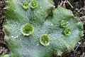 Marchantia polymorpha (a, 144712-474823) 9865.jpg