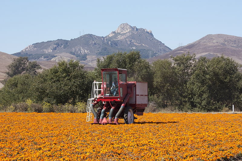 File:Marigold seed collection in California.jpg