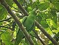 Mealy Parrot Amazona farinosa (42934201672).jpg