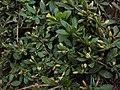 Mecardonia procumbens 01a.JPG