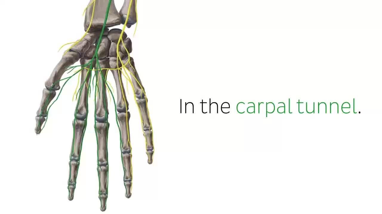 File:Median Nerve - Distribution, Innervation & Anatomy - Human ...