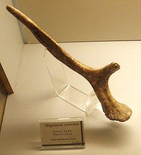 <i>Candiacervus</i> genus of mammals (fossil)