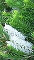 Melaleuca armillaris.jpg