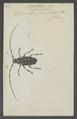 Melanauster - Print - Iconographia Zoologica - Special Collections University of Amsterdam - UBAINV0274 034 05 0025.tif