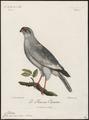 Melierax musicus - 1796-1808 - Print - Iconographia Zoologica - Special Collections University of Amsterdam - UBA01 IZ18300173.tif