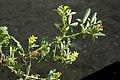 Melilotus indicus stem (01).jpg