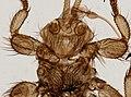 Melophagus ovinus (YPM IZ 093751).jpeg