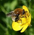 Merodon equestris (Large Narcissus Fly) - female.jpg