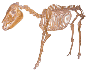 Merychippus - Skeletal reconstruction of Merychippus on display at the American Museum of Natural History