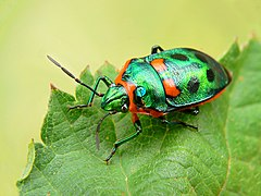 Metallic shield bug444.jpg