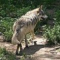 Mexican Wolf running.jpg