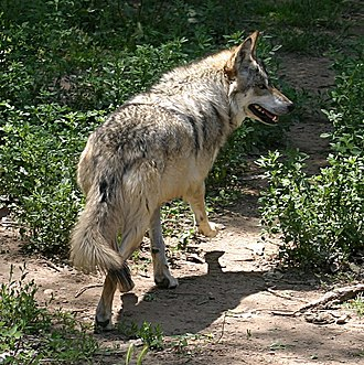Rio Grande Zoo - Image: Mexican Wolf running