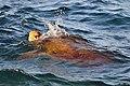 Mexico-7297 - Sea Turtle (4770402391).jpg