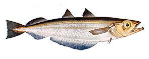 Blauer Wittling (Micromesistius poutassou)