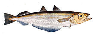 Blue whiting species of fish
