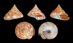 Selenizone - Four view of the slit shell Mikadotrochus hirasei. The first view shows the selenizone well. The other views show its relationship to the slit in the shell.