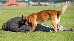 Military working dogs sink their teeth into local media 130730-F-BO262-075.jpg