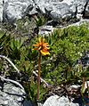 Millers point mnts Cape Peninsula - Aloe commixta.jpg