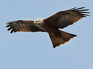 A Black Kite (Milvus migrans)