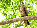 Milvus migrans govinda -India -perching-8.jpg