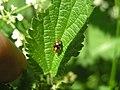 Mirid Bug (Liocoris Tripustulatus) (3269905979).jpg