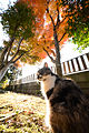 Miyako vs coloured maples leaves (11125308814).jpg