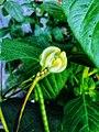 Monggo Flower.jpg