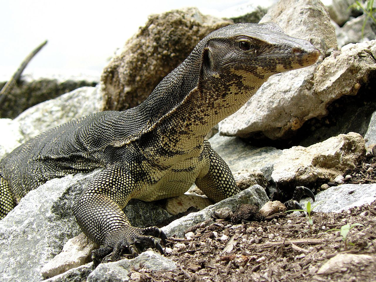 File:Monitor Lizard, Sungei Buloh Wetlands Reserve ...