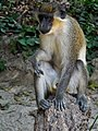 Monkey in The Gambia (32048932463).jpg