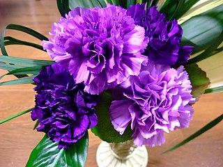 <i>Dianthus caryophyllus</i> species of plant