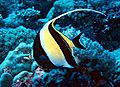 Moorish idol.jpg