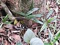 Morinda reticulata-2-chemungi hill-kerala-India.jpg
