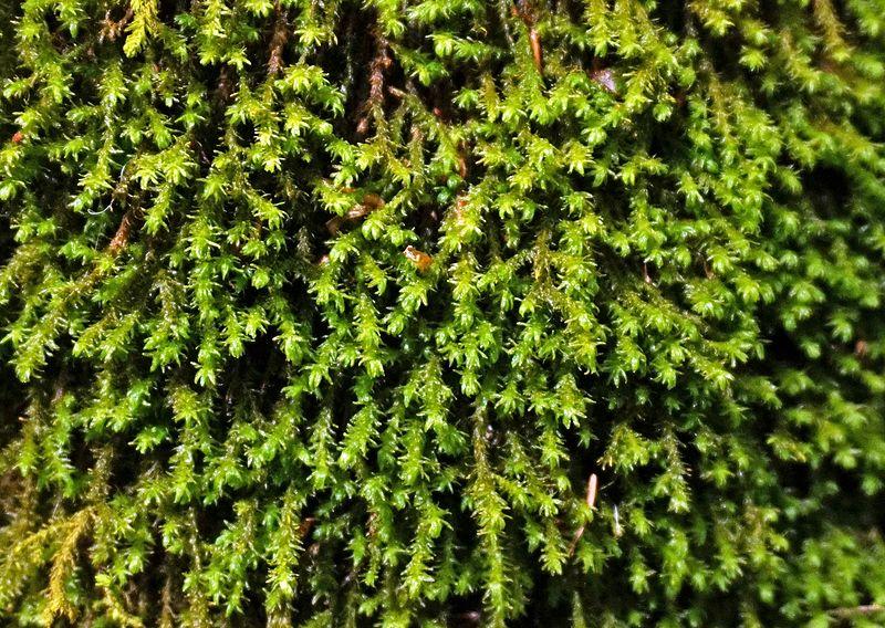 File:Moss in Romania.jpg