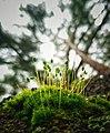 Mosses on pine.jpg