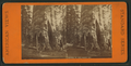 Mother of the Forest, Cal, from Robert N. Dennis collection of stereoscopic views.png