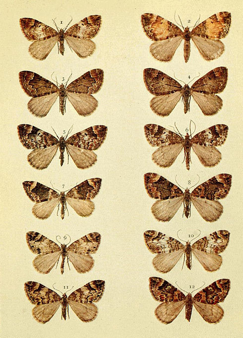 Moths of the British Isles Series2 Plate066.jpg