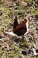 Mourning Cloak (Nymphalis antiopa) - Simcoe, Ontario.jpg