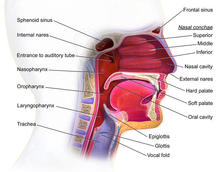 File:Mouth and pharynx.png