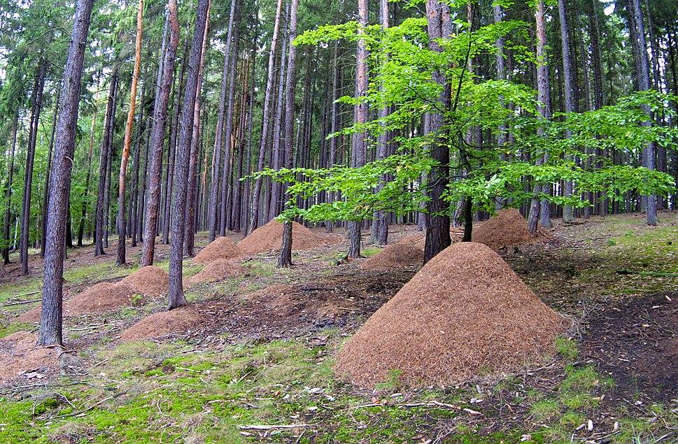 Mravenistě, Hlinecký les, Hřešihlavská