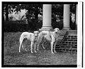 Mrs. Robt. Watson's dogs, 1-26-24 LOC npcc.10444.jpg