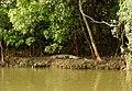 Mugger Crocodile Crocodylus palustris Zuari Goa by Dr. Raju Kasambe DSCN0812 (10).jpg