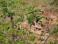 Mullutige (Telugu- ముల్లుతీగె) (5508629143).jpg