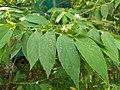 Muntingia calabura- Jamaica Cherry, Panama Cherry, Singapore Cherry. .jpg