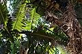 Musa zebrina 1zz.jpg