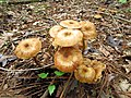 Mushrooms! Mill Trail Umstead NC SP 4283 (6641139615) (2).jpg